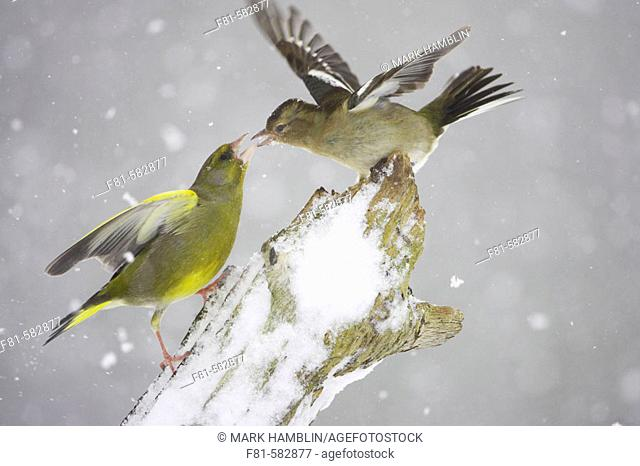 Greenfinch  (Carduelis chloris) male fighting with Chaffinch (Fringilla coelebs) female in snow. Scotland. February 2006