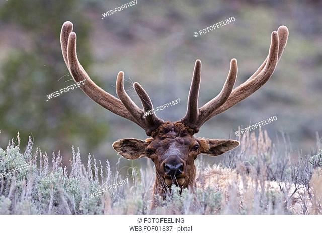 USA, Yellowstone Park, Elk Cervus canadensis lying in field
