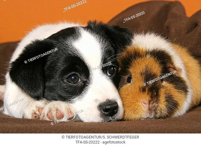 Mongrel puppy snuggles with guinea pig