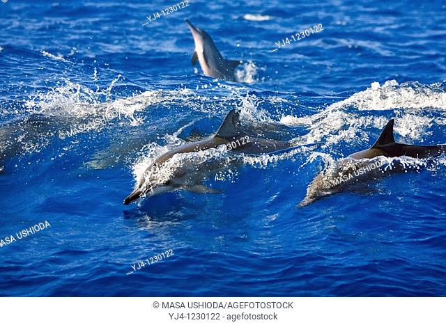 Hawaiian spinner dolphins, Stenella longirostris longirostris, wave-riding, Kona Coast, Big Island, Hawaii, USA, Pacific Ocean
