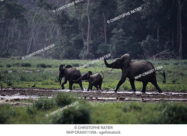 AFRICAN FOREST ELEPHANTS Loxodonta africana cyclotis with young, at salt marsh  Maya Bai, Odzala Forest, Congo, Africa