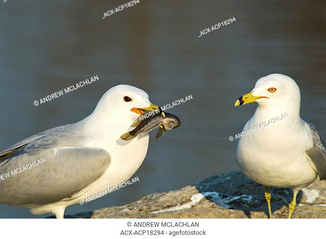 Ring-billed gulls Larus delawarensis with Round goby Neogobius melanostomus, an invasive species found within the Great Lakes, Lake Ontario, Toronto, Ontario