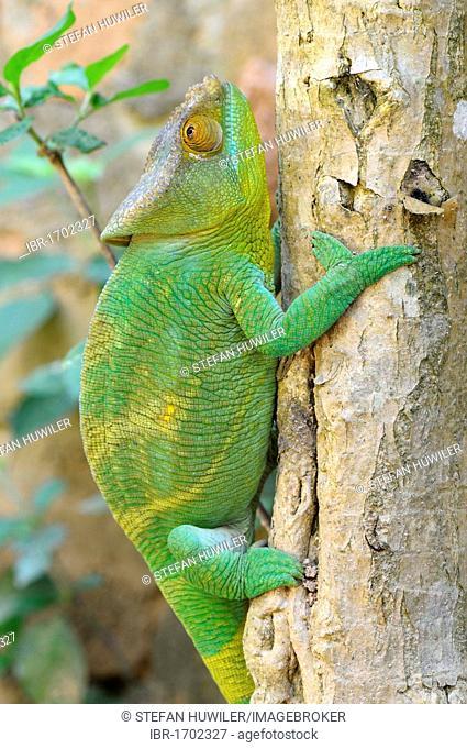 Parson's Chameleon (Calumma parsonii), climbing a tree trunk, Madagascar, Africa