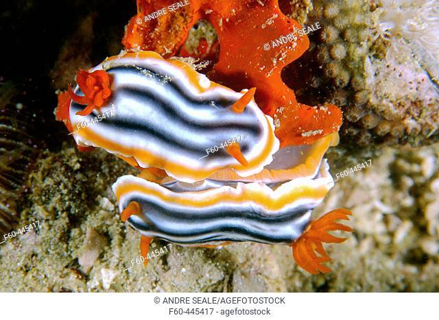 Pair of nudibranchs, Chromodoris quadricolor, on sponge, Lapus Lapus Island, Malapascua, Cebu, Philippines