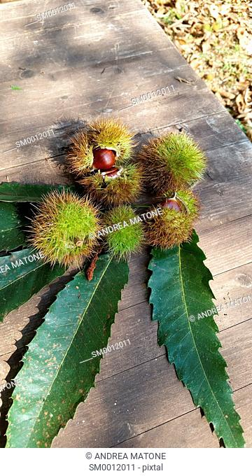 Half opened chestnuts