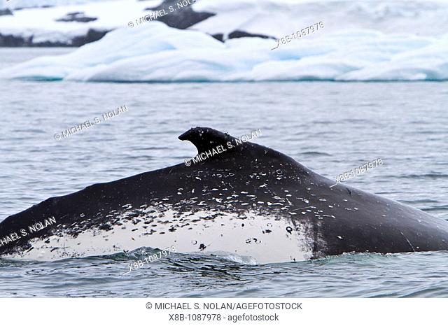 Humpback whale Megaptera novaeangliae surfacing near the Antarctic Peninsula, Antarctica, Southern Ocean  MORE INFO Humpbacks feed only in summer