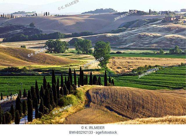 Italian cypress (Cupressus sempervirens), Landscape near d'Arbia, Italy, Tuscany