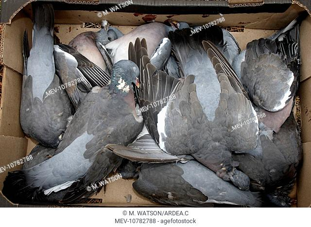 Dead wood pigeon Stock Photos and Images | age fotostock