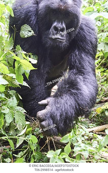 Close view of Silverback Mountain gorilla (Gorilla beringei beringei) member of Munyaga group. Virunga National Park, North Kivu, Democratic Republic of Congo