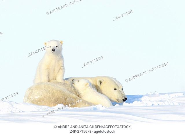 Polar bear mother (Ursus maritimus) with two new born cubs playing, Wapusk National Park, Manitoba, Canada