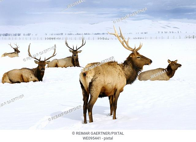Close up of four bull Elk and a cow wintering at the National Elk Refuge in Jackson Hole Wyoming