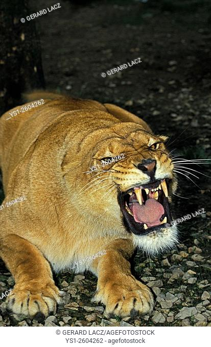 African Lion, panthera leo, Female Snarling, Africa