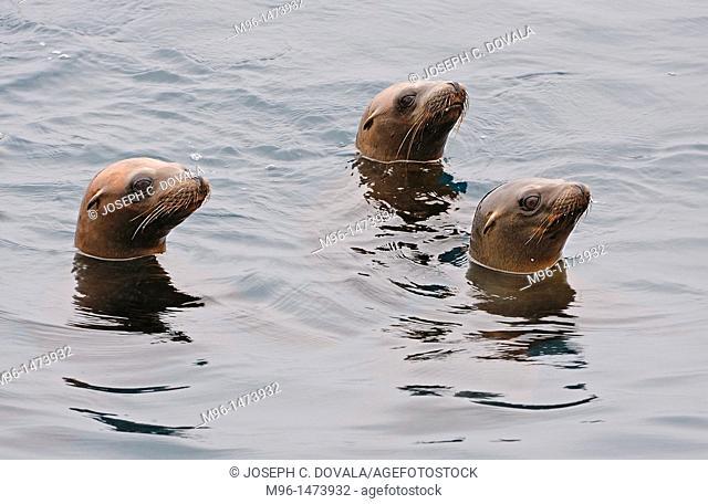 Curious California sea lions, Santa Cruz Island, California, USA