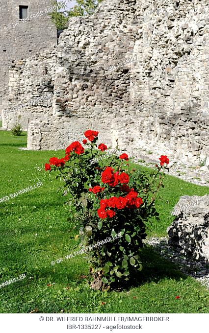 Rosebush in the ruins of the Roman theater, Aosta, Aosta Valley, Piedmont, Italy, Europe