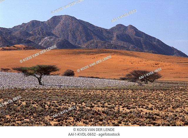 Acacia, gerrardii, Red Thorn, Kaokoland, Namibia, Africa