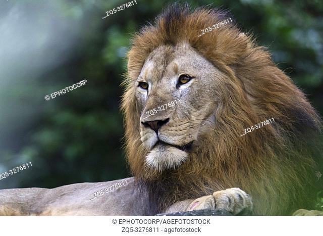 King of the Jungle, Asiatic lion, Panthera leo leo, Singapore zoo, Singapore