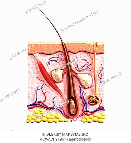 Cross section of skin showing hair follicle, sebaceous glands, sweat gland and arrector pili muscle structure, 3D illustration isolated on white background