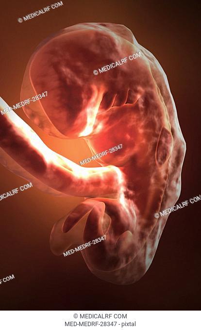 Embryonic development. 6 weeks