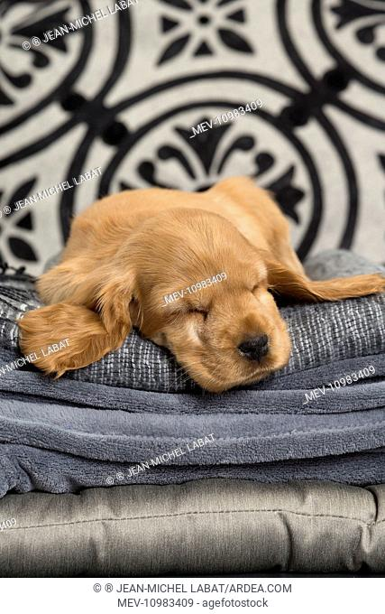 Dog - Cocker Spaniel puppy sleeping