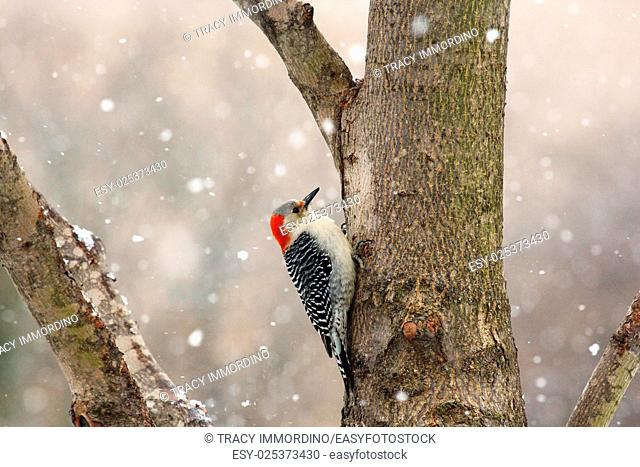 Close up of a female Red-bellied Woodpecker on a tree trunk with a snow falling in the background in winter in Trevor, Wisconsin, USA