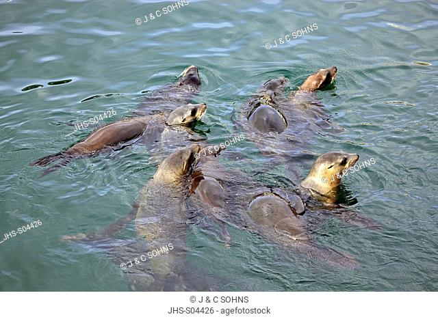 Californian Sea Lion,Zalophus californianus,Monterey,California,USA,group in water