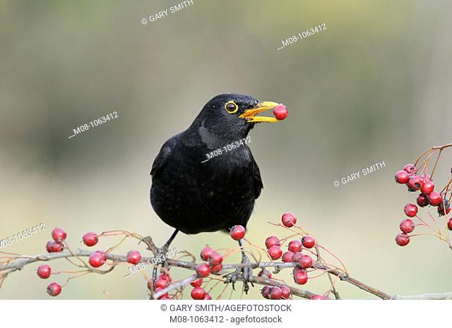 Blackbird, 'turdus merula', male feeding on Hawthorn berries, UK, November