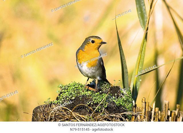 European Robin (Erithacus rubecula). Tablas de Daimiel National Park, Ciudad Real province, Castilla-La Mancha, Spain