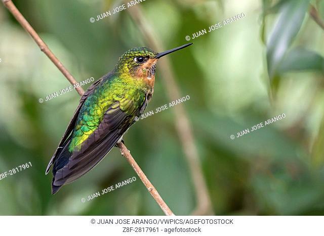 Glowing Puffleg (Eriocnemis vestita ), female, La Calera, Cundinamarca