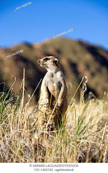 MEERKAT suricata suricatta, ADULT LOOKING AROUND, STANDING ON HIND LEGS, NAMIBIA