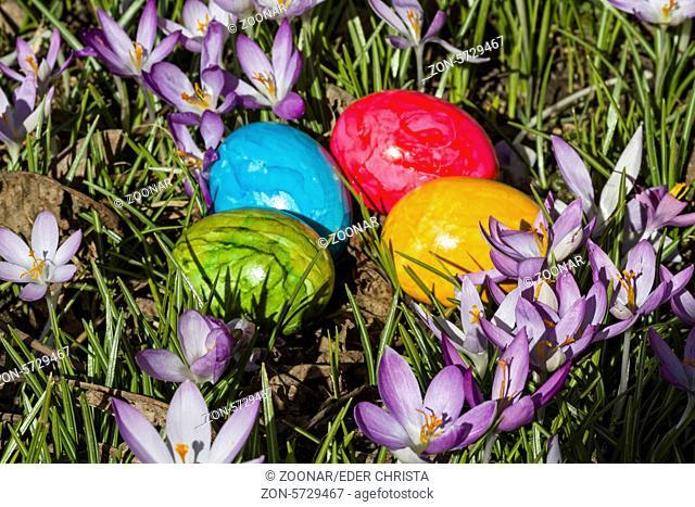 Frühlingsstilleben - bunte Ostereier in Krokusswiese liegend