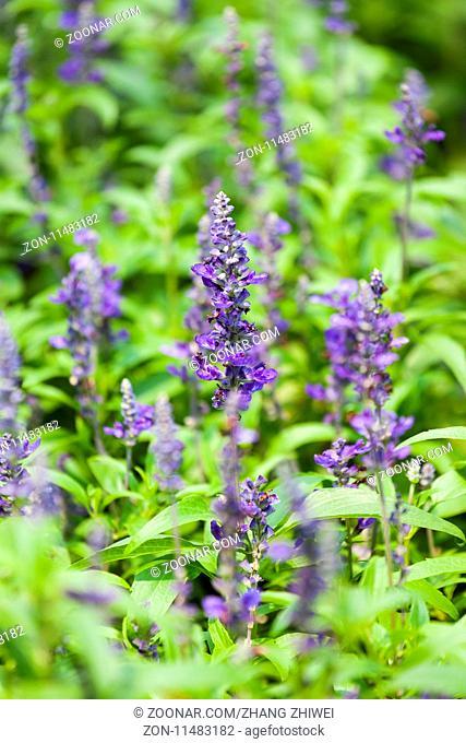 blue flower sage grass, salvia flowers closeup