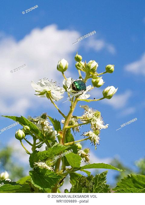 The blackberry blossoms