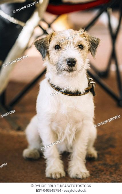 Pretty Young Rough Coated Jack Russell Terrier Dog on Floor. Small terrier