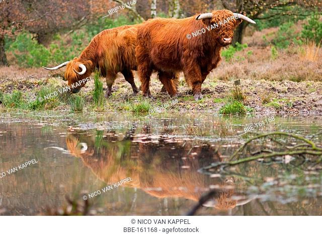highland cattle in the Netherlands