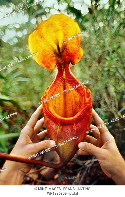 Large pitcher plant in a person's cupped hands, Nepenthes villosa, Mt Kinabalu National Park, Sabah, Borneo