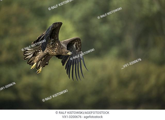 White tailed Eagle / Sea Eagle ( Haliaeetus albicilla ), young bird of prey, in powerful flight in front of the edge of a forest