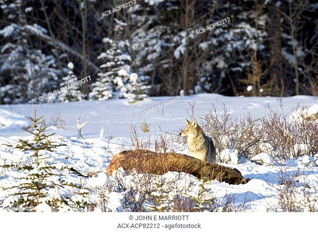 Coyote on an elk carcass in Banff National Park