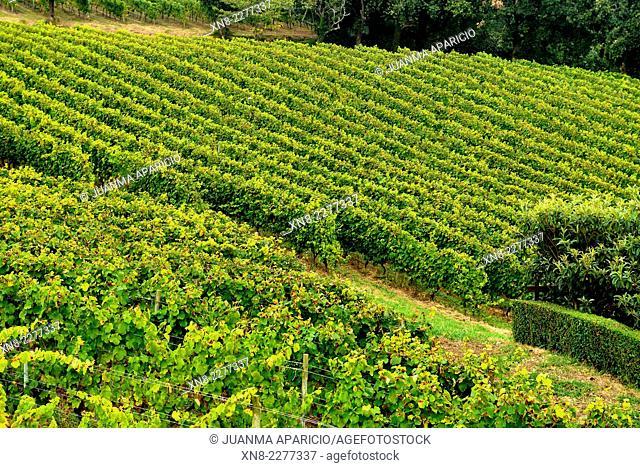 Txakoli Vineyard in Zarautz, Guipuzkoa, Basque Country, Euskadi, Spain, Europe