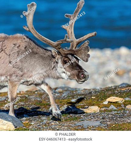 reindeer (rangifer tarandus platyrhynchus), large antlers