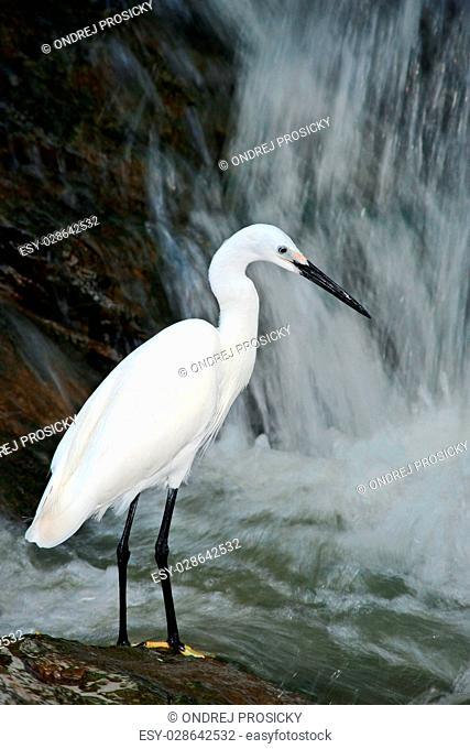 Snowy Egret, Egretta thula, white heron bird