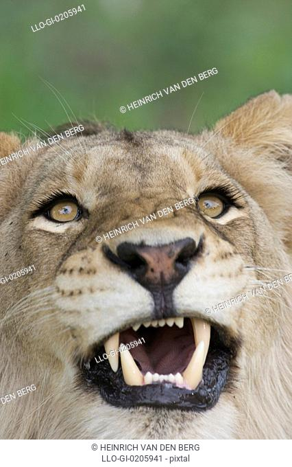 Young male Lion Panthera leo snarling, Greater Kruger National Park, South Africa