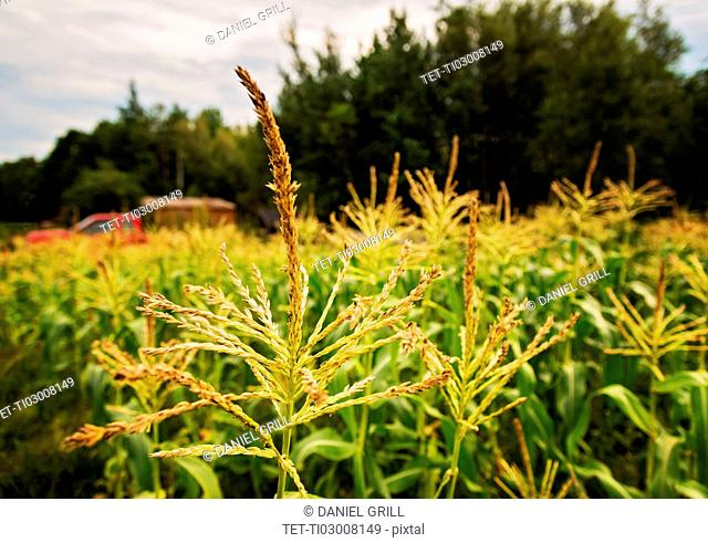 USA, Maine, Knox, Corn growing in field