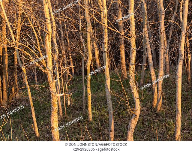 Birch trees in early spring, Greater Sudbury, Ontario, Canada