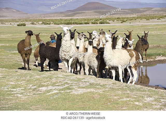 Llama herd Potosi Bolivia Lama glama