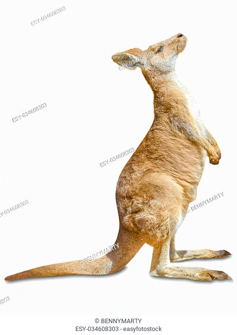 Red australian kangaroo, Macropus rufus, standing and isolated on white background
