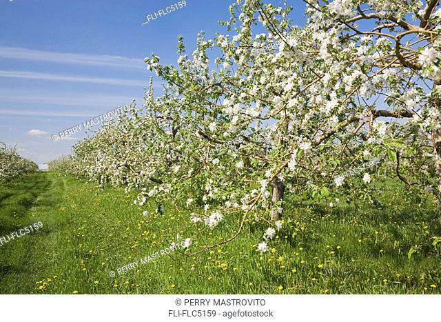 Apple Tree Orchard at Springtime, Laval, Quebec, Canada