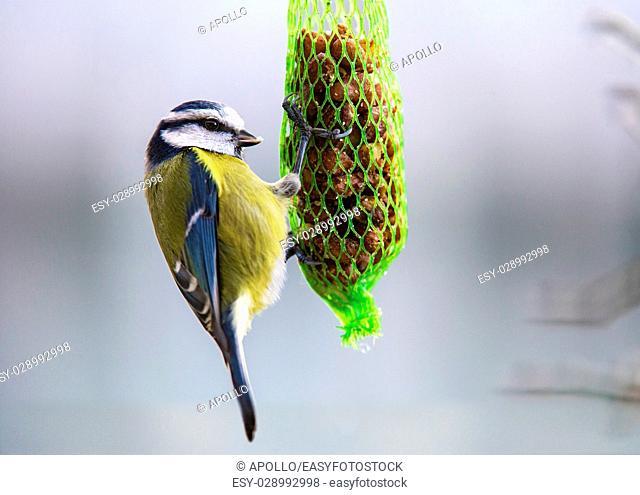Blue Tit (Cyanistes caeruleus, Syn. Parus caeruleus), Tit bird family (Paridae), feeding on bag of birdseed, Geneva, Switzerland