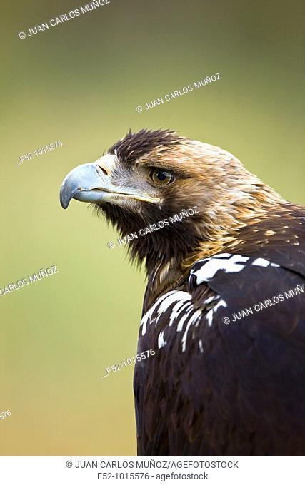 Iberian Imperial Eagle. Aquila adalberti