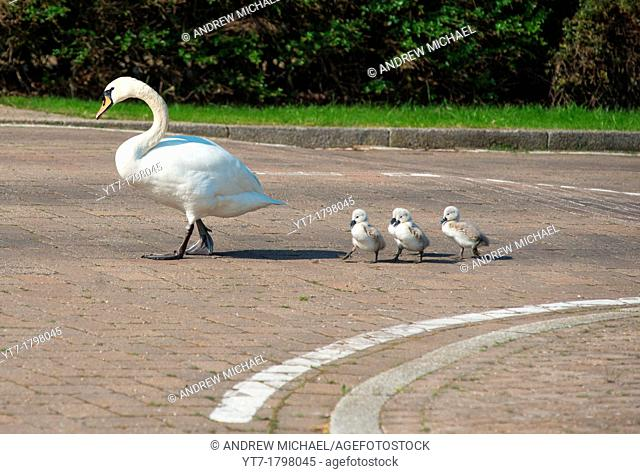 Family of Swans cross the road  Cambourne, England