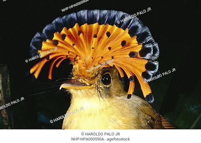ROYAL FLYCATCHER crest display Onychorhynchus coronatus swainsoni Atlantic forest, Brazil, South America